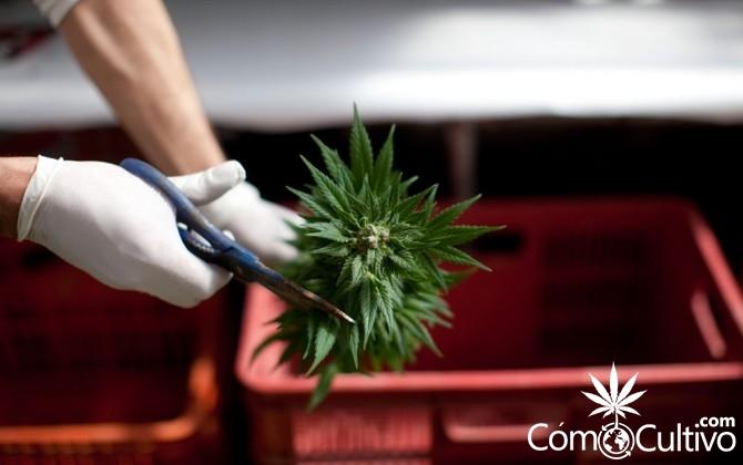 como-cortar-cogollo-marihuana