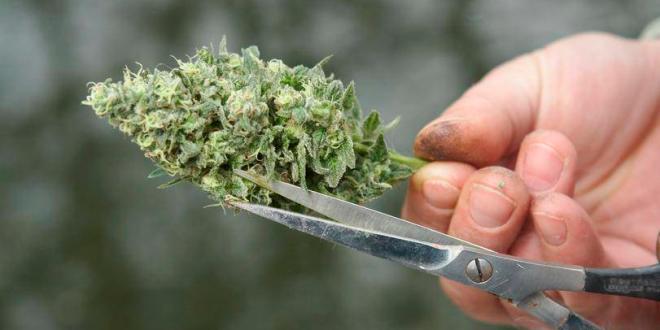 cosechar marihuana