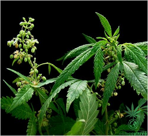 macho-cannabis