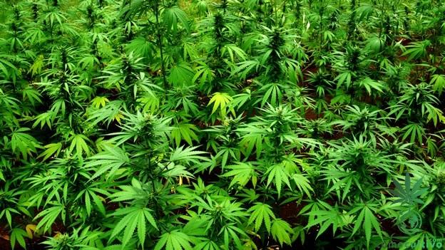 que es la marihuana