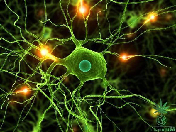 neurona-thc