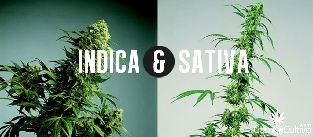 semillas de cannabis sativa