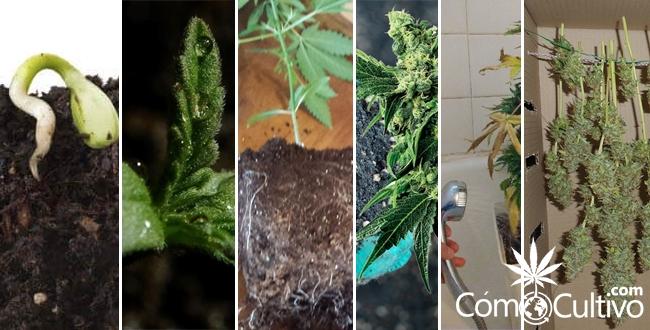 como-cultivar-paso-marihuana-cannabis-manual