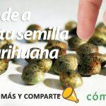 elegir-semillas-de-cannabis
