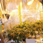 indoor-cultivo