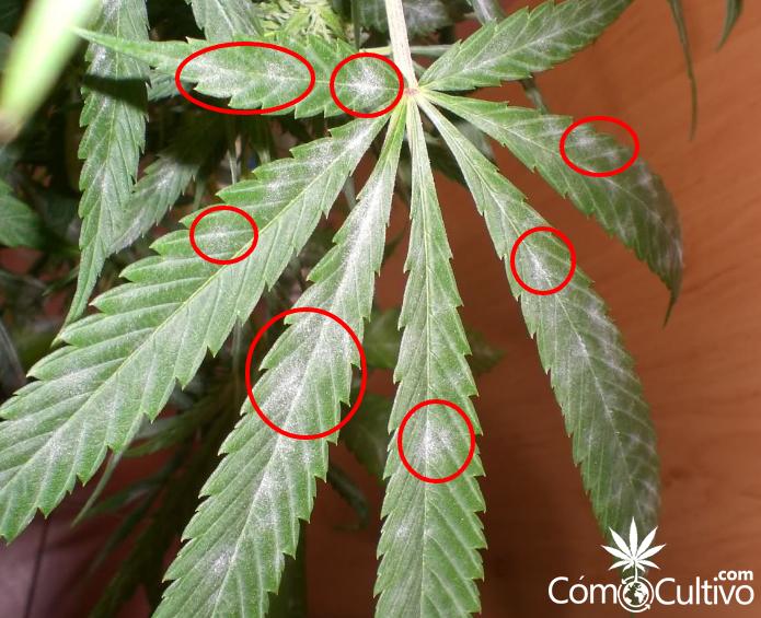 manchas-blancas-algodon-oidio-hongo-planta-marihuana