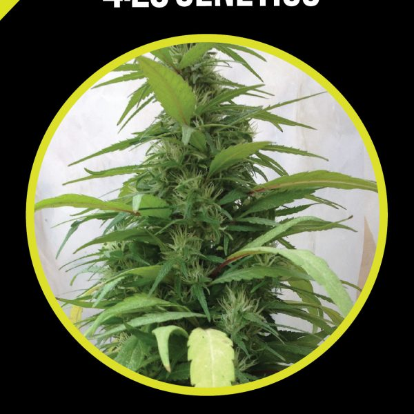 cbd-white-widow-medicinal-420