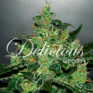 critical-jack-herer-auto-delicius-seeds