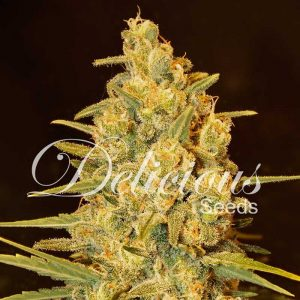 critical_sensi_star-delicious-seeds-semillas