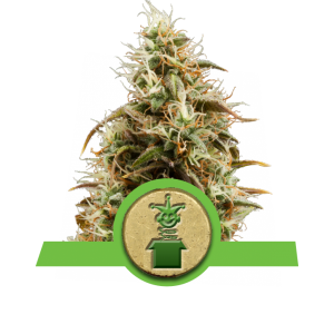 royal-jack-herer-automatic