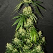 silver-haze-9-feminizada-planta