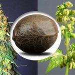 como-saber-semilla-cannabis-macho-hembra