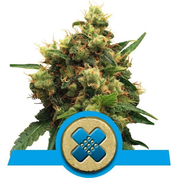 painkiller-xl-alta-cbd-semilla-medicinal-parkinson
