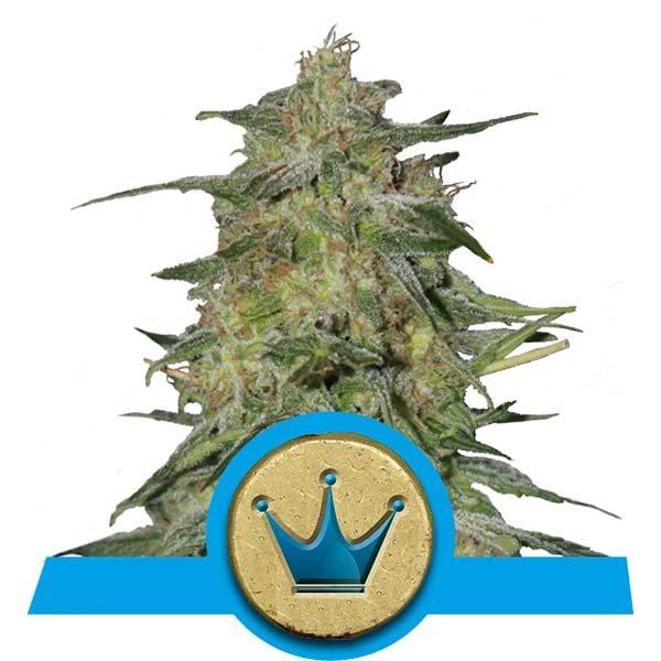 royal-highness-semilla-medicinal-alta-cbd