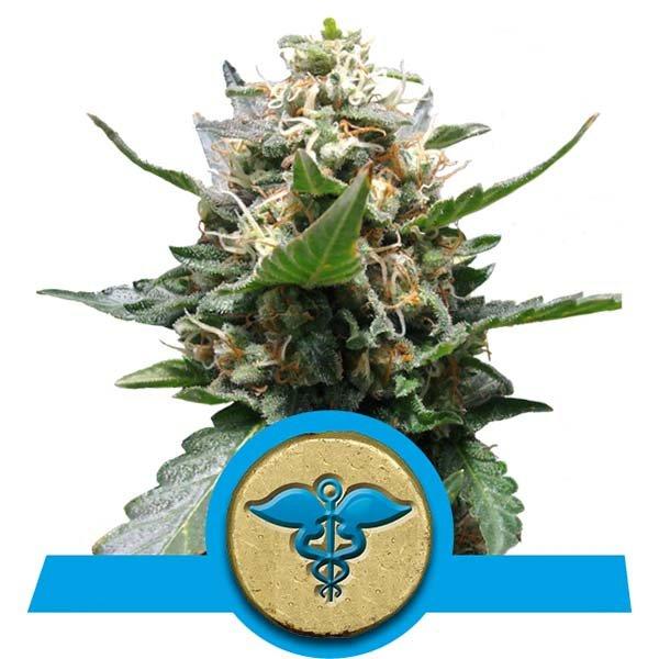 royal-medic-cbd-semilla-medicinal
