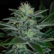 white-widow-auto-pyramid-seed-cogollo