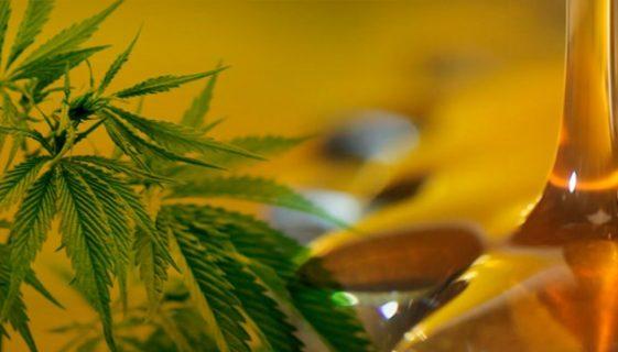 Cómo hacer macerado de cannabis en Aceite de Oliva