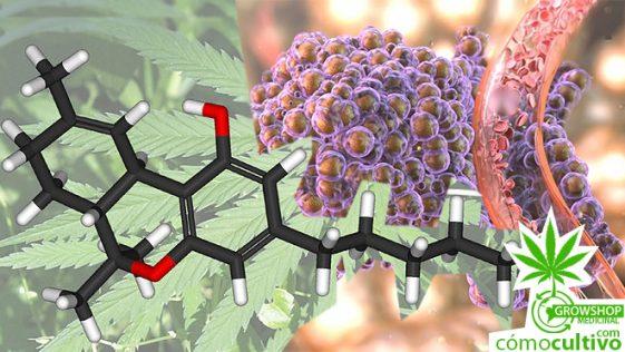 Estudio científico comprueba que la marihuana elimina células tumorales
