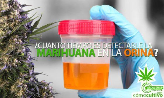 ¿Cuanto tiempo es detectable la marihuana en la Orina?