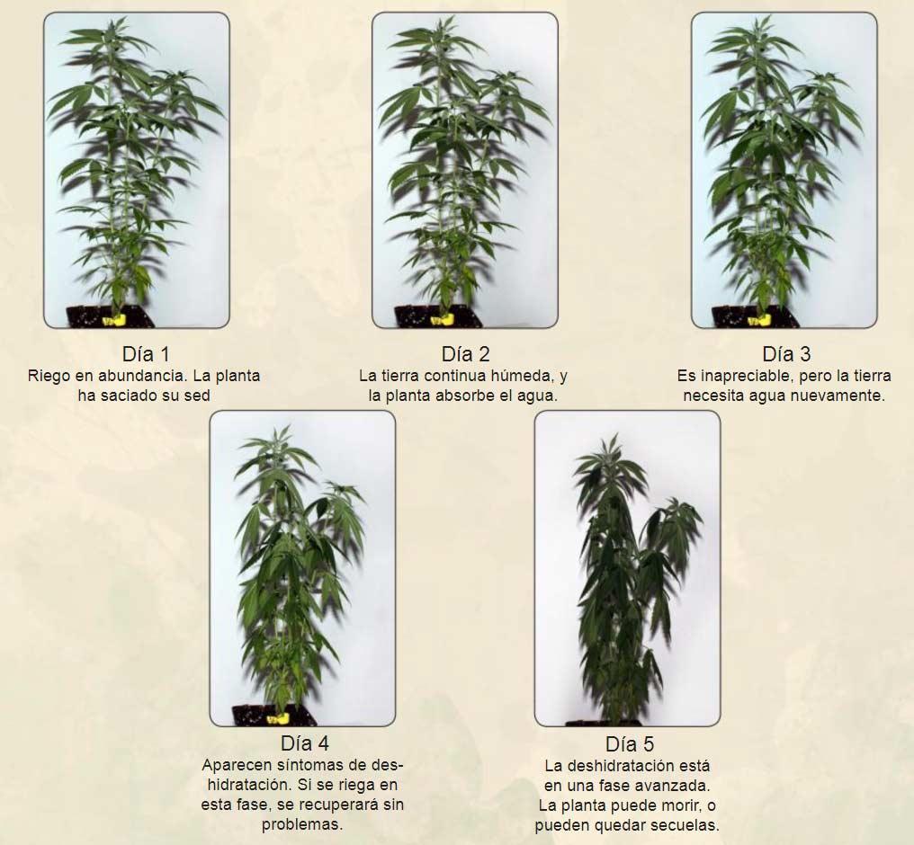 Ejemplo de los síntomas de las plantas cuando les falta riego