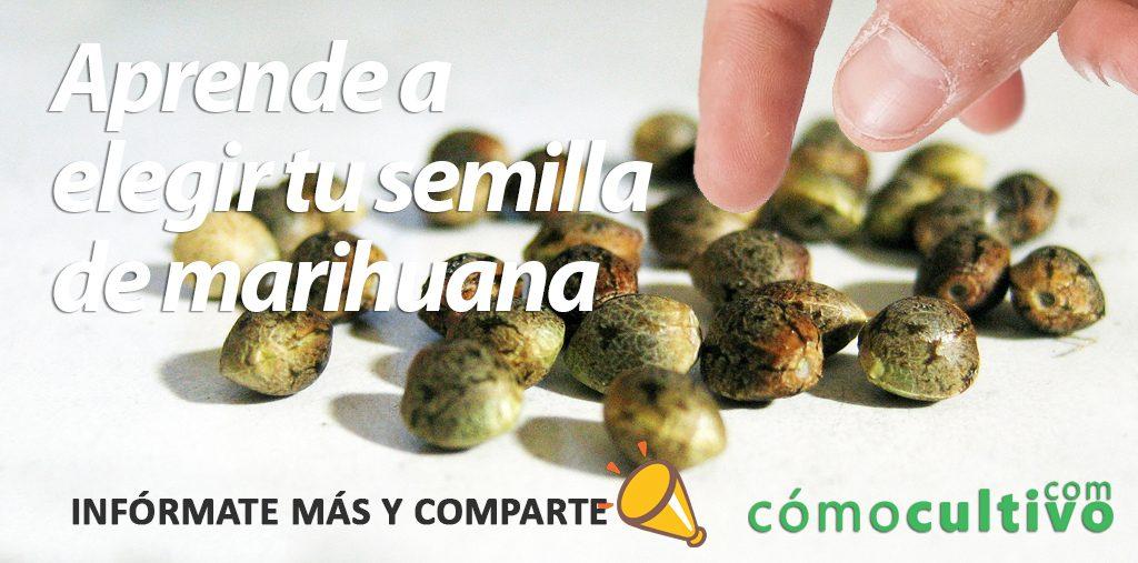 elegir semillas de cannabis
