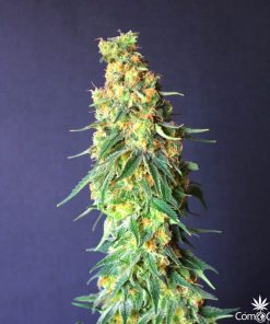 White Domina CBD
