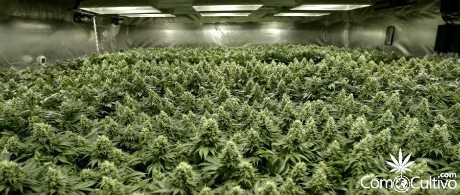 sog-o-sea-of-green-en-el-cultivo-de-marihuana-2