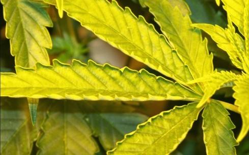 hojas-amarillas-estres-aumentar-thc-cbd