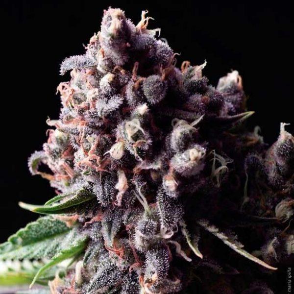 purple-auto-pyramid-seeds