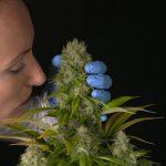 usar medicinalmente los terpenos de la marihuana