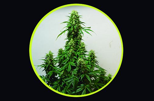 chocolope-420-genetics