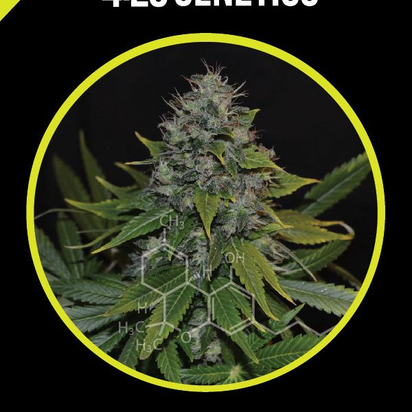 og-kush-420-genetics