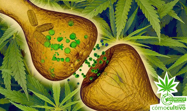 actúa la cannabis