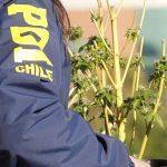 transportar cannabis medicinal