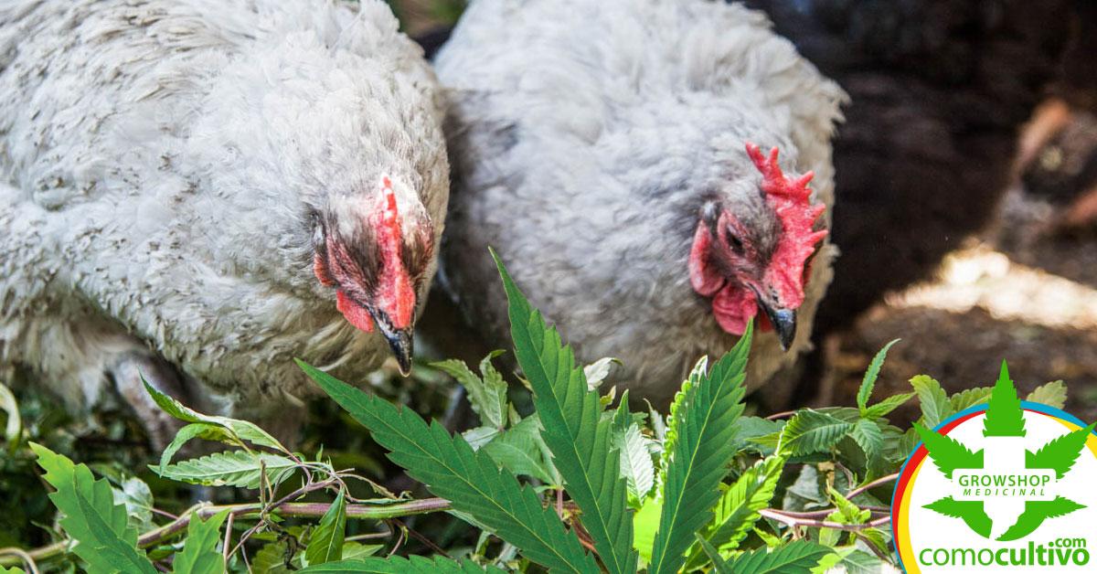 Resultado de imagen para gallinas marihuana