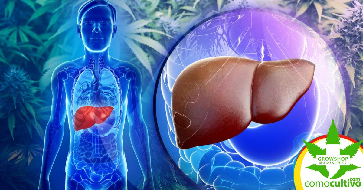 cannabis puede proteger el hígado