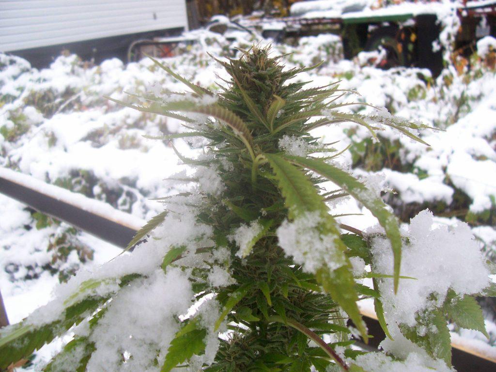 marihuana en invierno