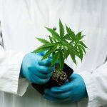 aprueban un extracto de cannabis