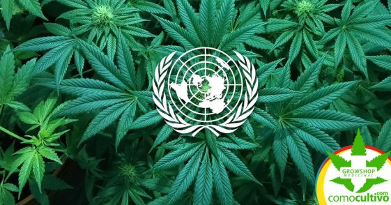 La OMS solicita a la ONU quitar la Cannabis de las sustancias prohibidas