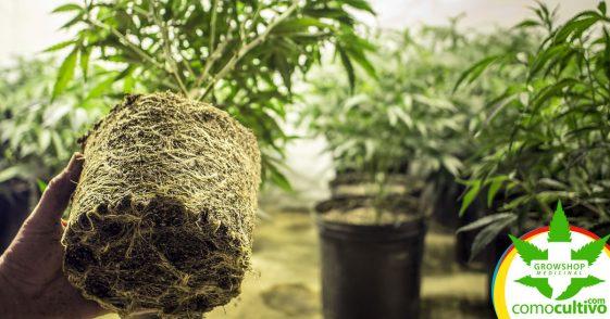Uso medicinal de las Raíces de Cannabis: Es histórico y contemporáneo
