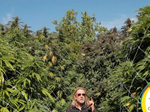marihuana gigantes