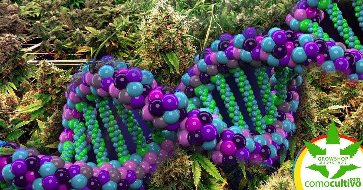 transgénicos crearán marihuana