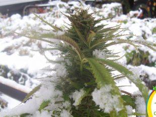Cannabis resistentes al frío y humedad