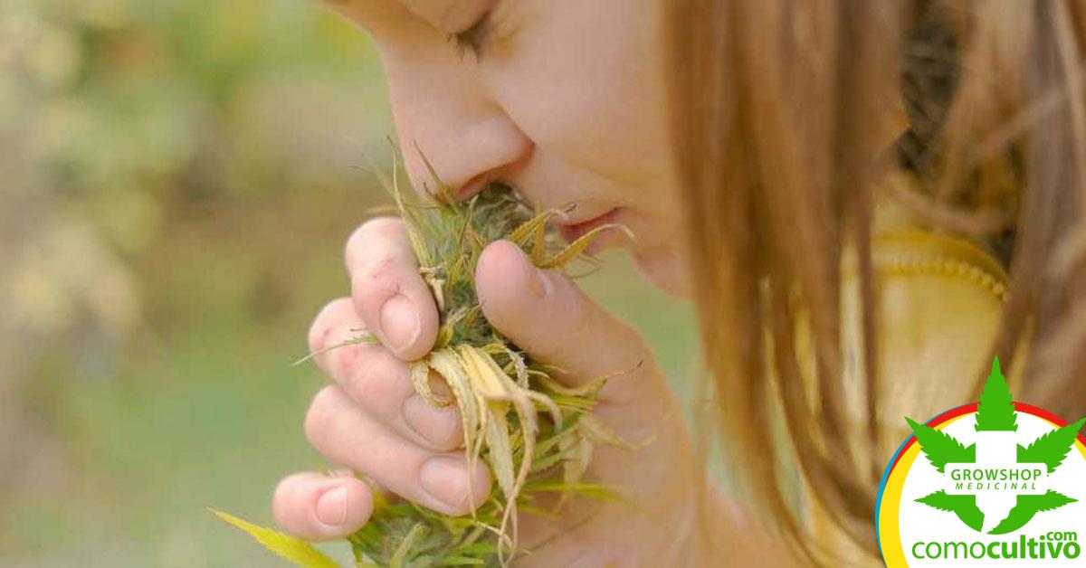 Cannabis sin olor
