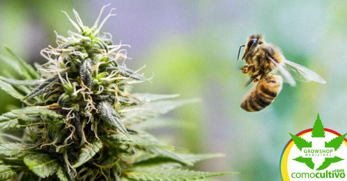 aman el cannabis