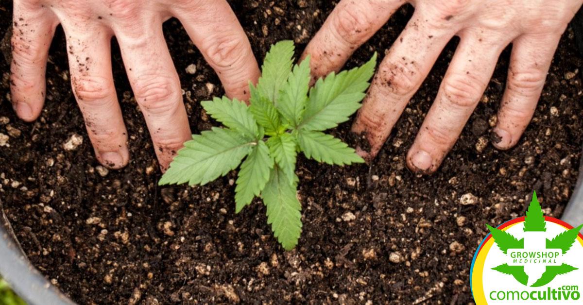 Cannabis para artrosis