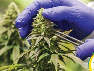 Dispensarios de Marihuana